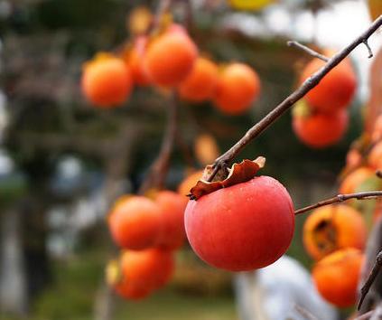 A novembre Strugnano in Slovenia diventa la capitale della dolcezza con la Festa dei Cachi